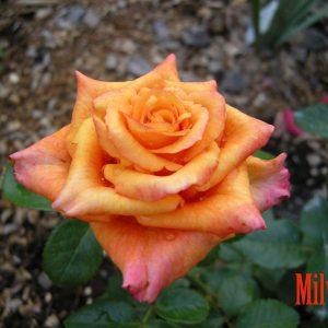 Роза Мильва Milva