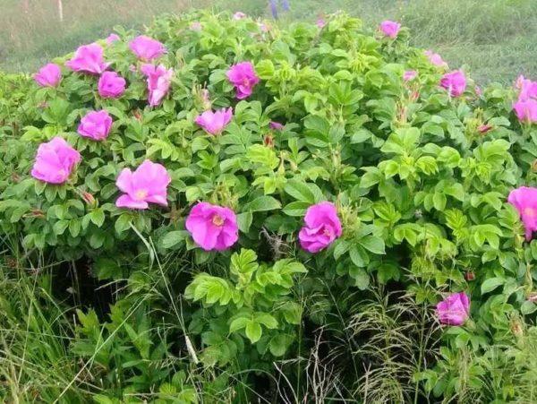Роза Рубра морщинистая