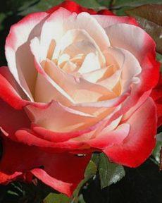 Роза Ностальжи Nostalgie