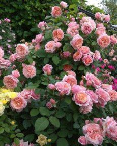 Роза Поль Бокюз Paul Bocuse