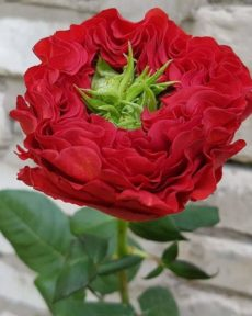 Роза Ред Ай Red Eye