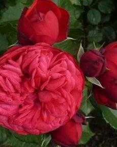 Роза Ред Пиано Red piano