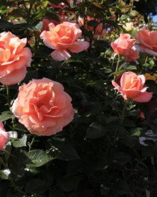 Роза Рене Госсини Rene Goscinny
