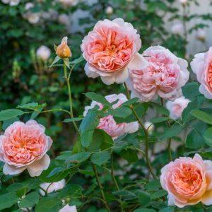 Роза Тиа Клиппер Tea Clipper