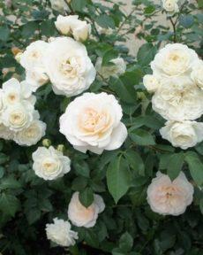 Роза Транквилити Tranquillity