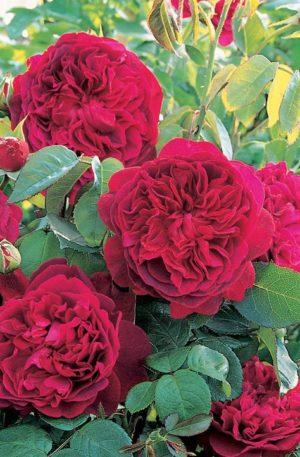 Роза Вильям Шекспир William Shakespeare