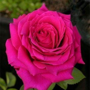 Роза Юрианда Jorianda