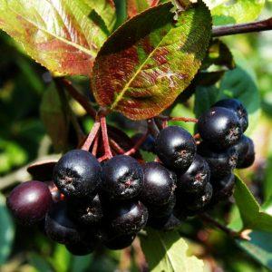 Саженцы аронии (Черноплодная Рябина)