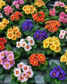 Саженцы Примулы многолетней (Первоцвет)