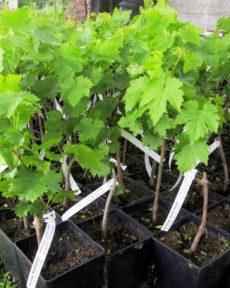 Саженцы винограда Зимостойкие сорта