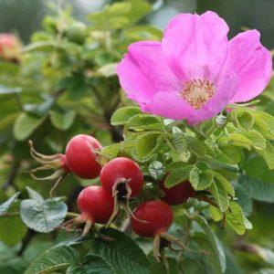 Шиповник Розовый. Парковая Роза