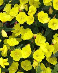 Энотера Многолетняя Желтая