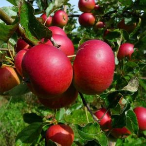 Яблоня Услада