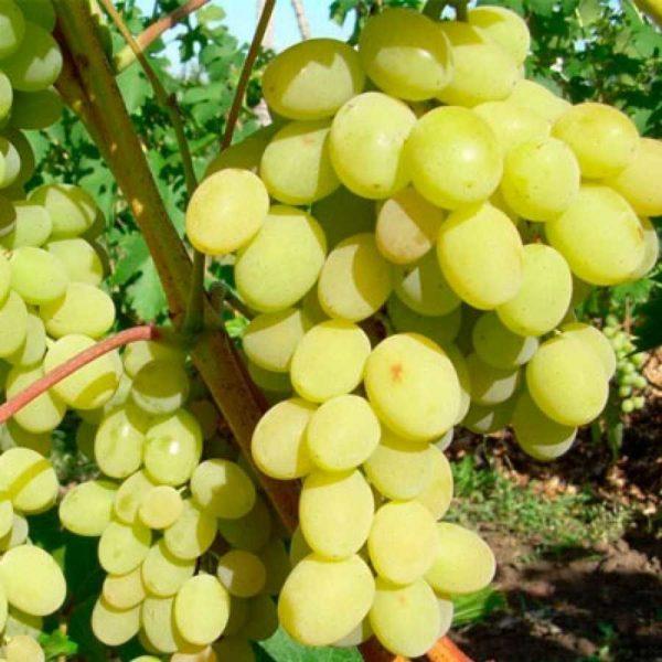 Виноград Кристалл плодовый