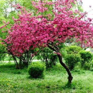 Яблоня Райская краснолистная