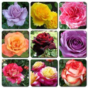 Саженцы Чайно-гибридных Роз