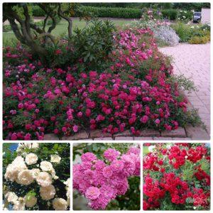 Саженцы Почвопокровных Роз