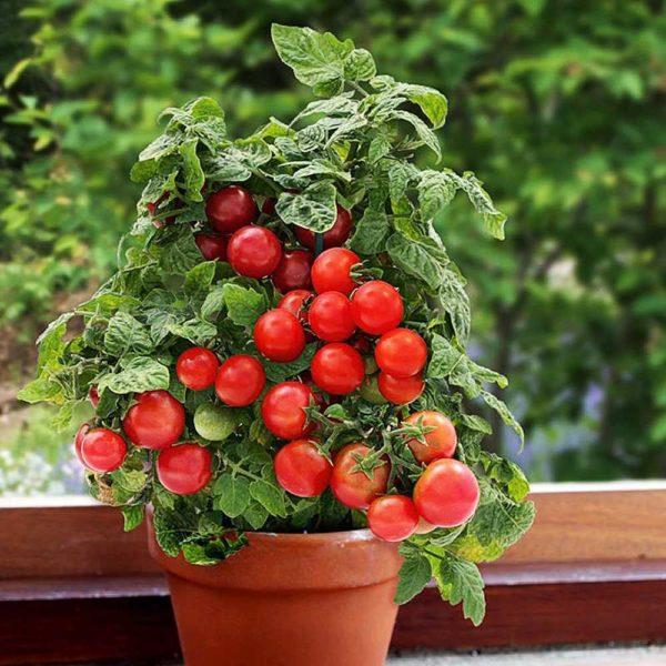 Томат Балконный Чудо Красный