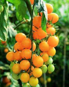 Томат Оранжевый Виноград
