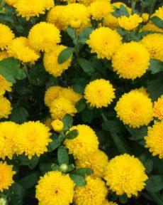 Хризантема Помпон Еллоу Pompon Yellow Корейская