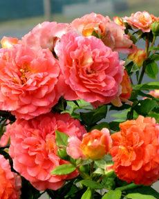 Роза Братья Гримм Gebruder Grimm
