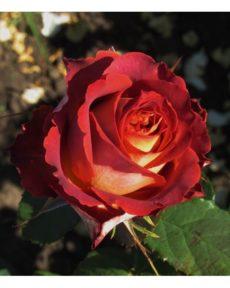Роза Гинес Guinness