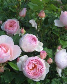 Роза Херитейдж Heritage