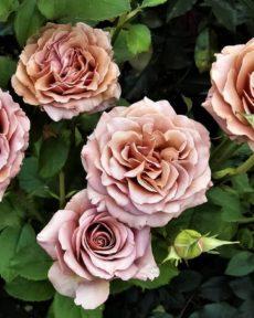 Роза Каппучино Cappuccino
