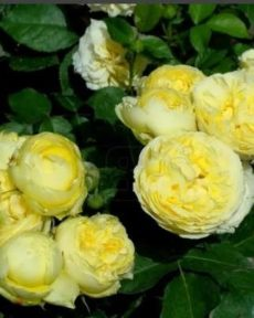 Роза Каталина Katalina