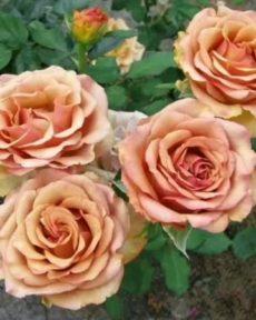 Роза Марракеш Marrakech