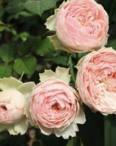 Роза Мэнсфилд Парк Mansfield Park