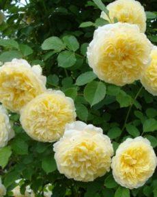 Роза Пилигрим THE PILGRIM