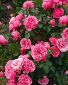 Роза Пинк Пиано Pink Piano