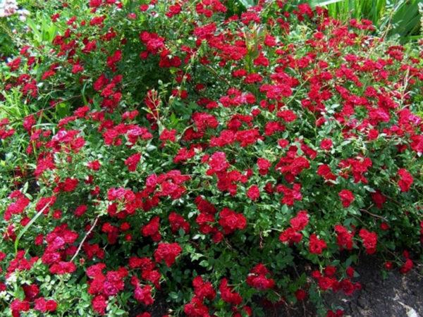 Роза Рэд Каскад Red Cascade