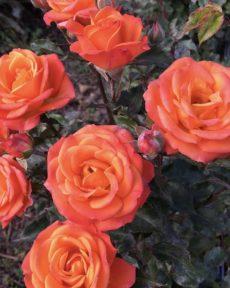 Роза Вулканика Vulcano