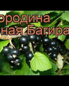 Смородина Багира